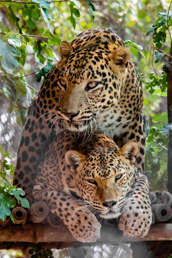 Léopards joignant sur l'arbre photographie stock