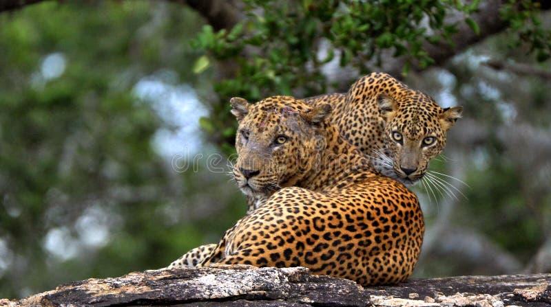 Léopards sur une pierre Kotiya sri-lankais de pardus de Panthera de léopard photographie stock libre de droits