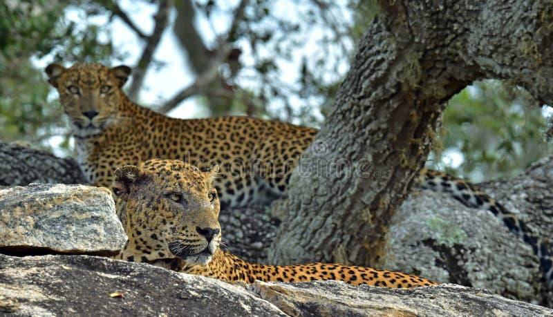 Léopards sur une pierre Mâle et femelle photo stock