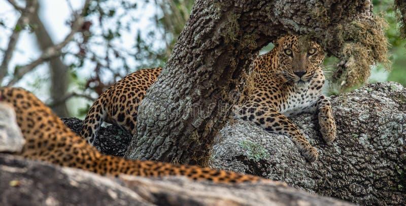 Léopards sur une roche La femelle et le mâle du kotiya sri-lankais de pardus de Panthera de léopard images libres de droits