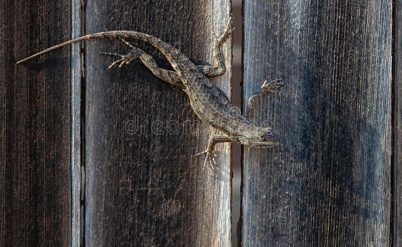 Lézard épineux du Texas camouflé sur la barrière en bois image stock
