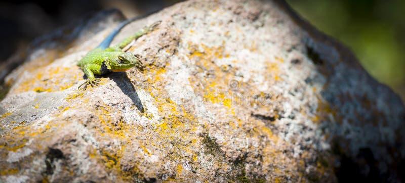 Lézard épineux ou Sceloporus Malachiticus photo libre de droits