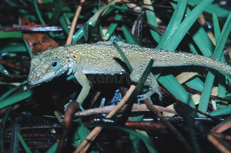 Lézard photos stock