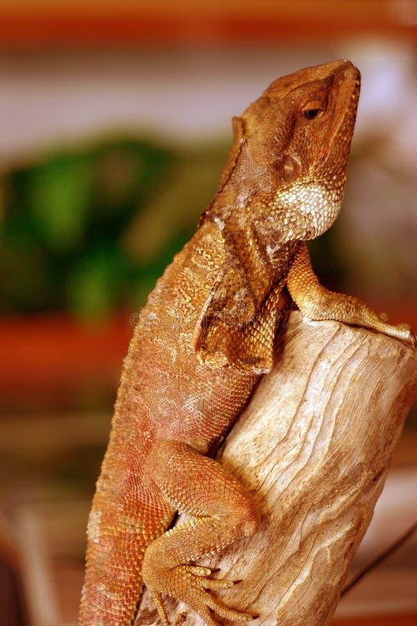 Download Lézard photo stock. Image du vertical, lézard, reptile, nature - 90516