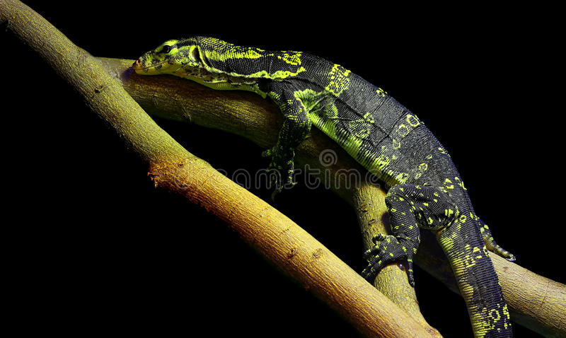 Lézard asiatique de salvator de varanus de moniteur d'eau photo libre de droits
