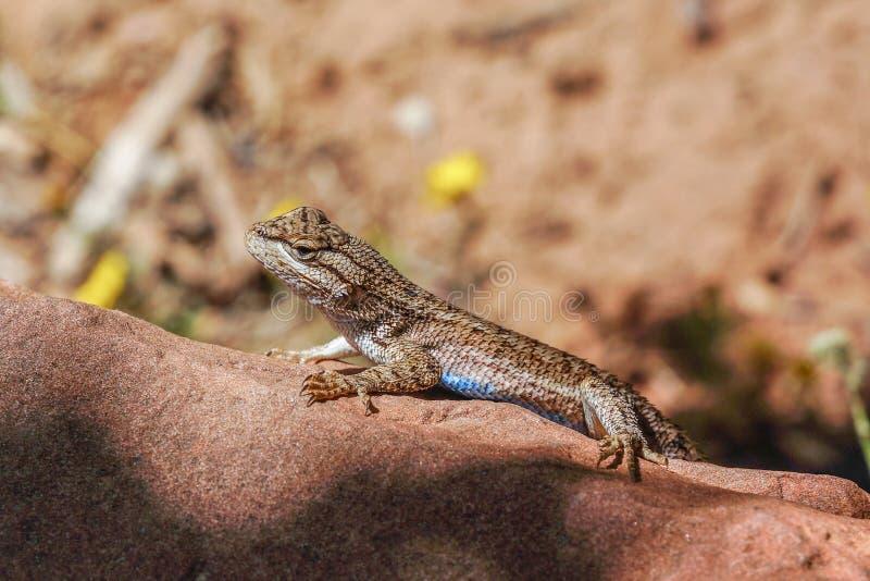 Lézard bleu de ventre en parc national de zion image stock