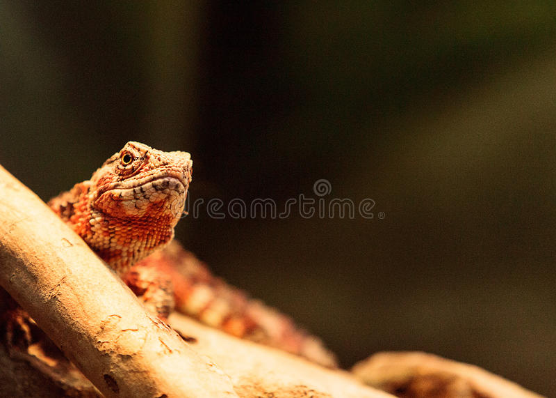 Download Lézard Chinois De Crocodile Connu Sous Le Nom De Crocodilurus De Shinisaurus Photo stock - Image du animal, saurian: 87701718