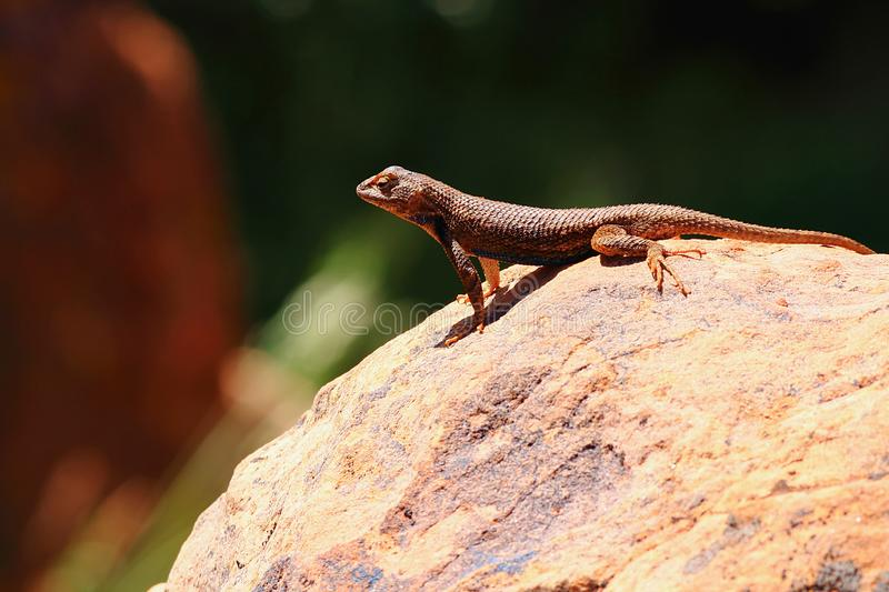Lézard commun d'armoise - graciosus de Sceloporus - sur la roche, Zion National Park, Utah photos stock