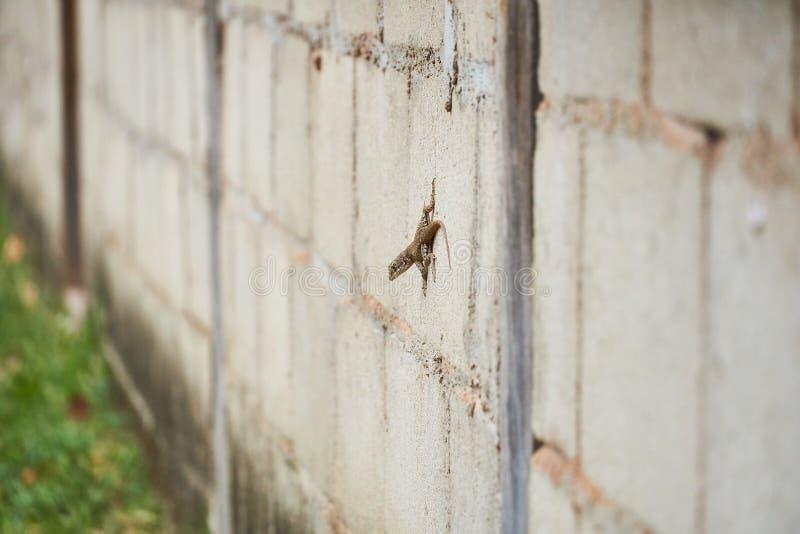 Lézard coupé la queue bouclé, un lézard bouclé-coupé la queue bahamien sur le mur en béton photo libre de droits