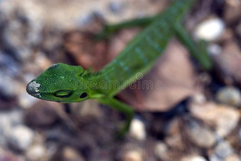 Lézard crêté vert, réservation de Semenggoh, Sarawak, Bornéo, Malais photo stock