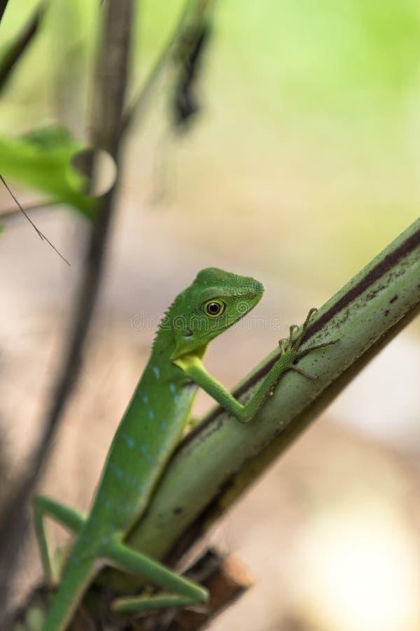 Lézard crêté vert - cristatella de Bronchocela Animal sauvage de parc national de Mulu en Malaisie, Bornéo photographie stock libre de droits