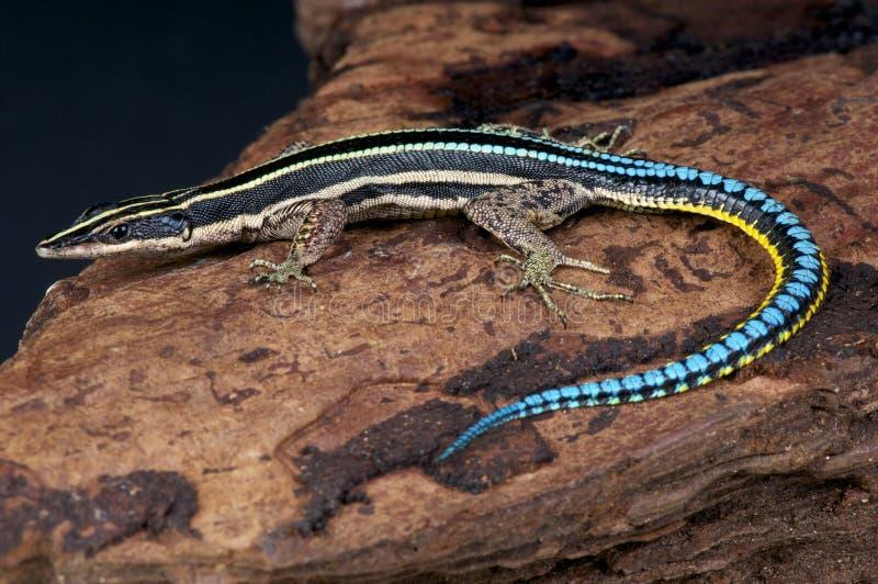 Lézard d'arbre/guentheri de Holaspis coupés la queue par bleu images stock