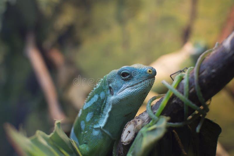 Lézard dans l'habitat naturel photo libre de droits