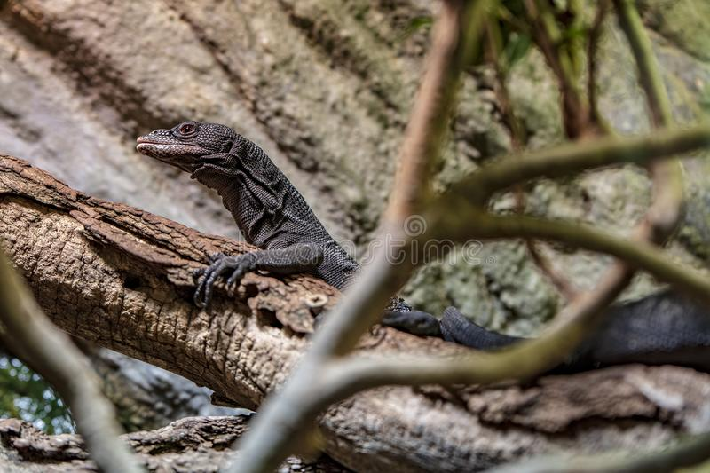 Lézard dans le zoo de Prague photos stock