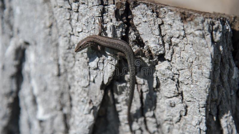 Lézard de Brown sur l'arbre photo stock