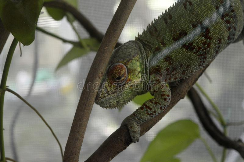Lézard de caméléon images libres de droits