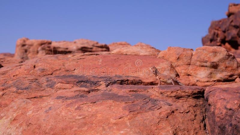 lézard de dragon Anneau-coupé la queue sur la roche dans l'Australie occidentale photos stock