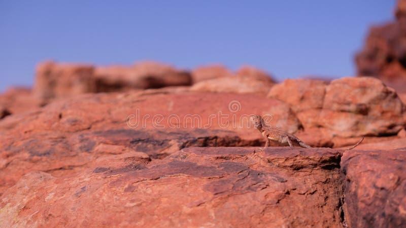 lézard de dragon Anneau-coupé la queue sur la roche dans l'Australie occidentale photographie stock