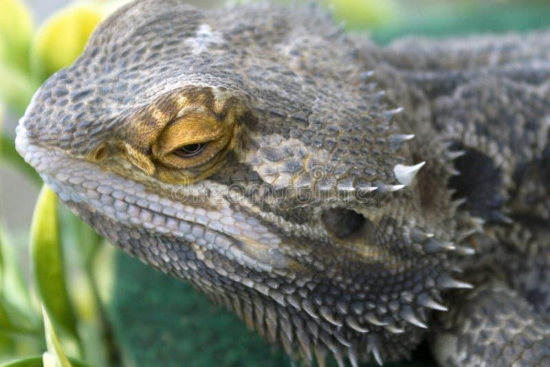Lézard de dragon barbu photos stock
