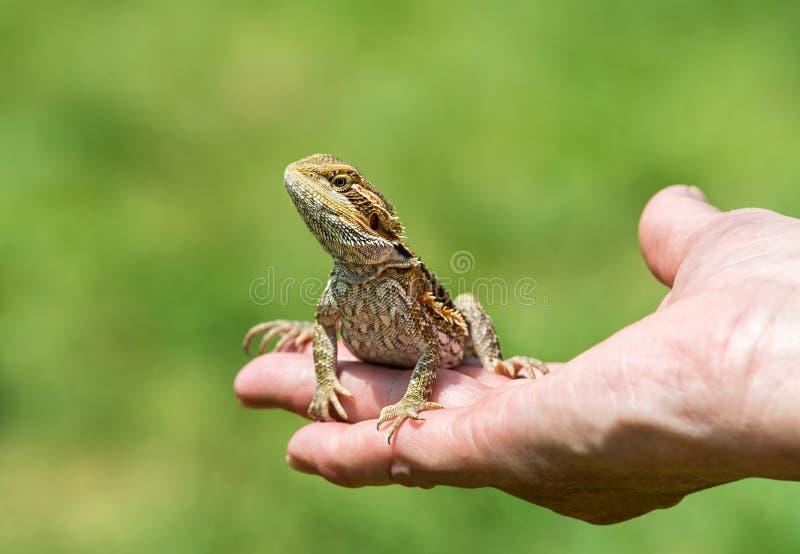 Lézard de dragon barbu images libres de droits