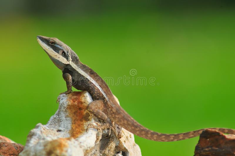 Lézard de dragon du nord masculin de Lophognathus photo stock