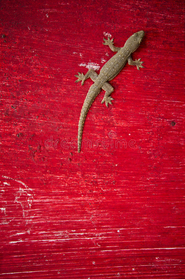 Lézard de Gecko photo stock