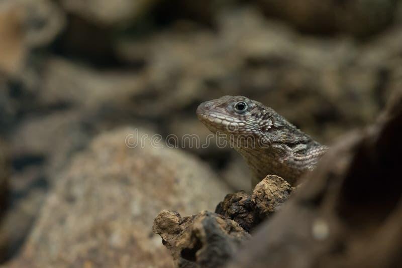 Lézard de gecko en plan rapproché d'habitat naturel photos stock