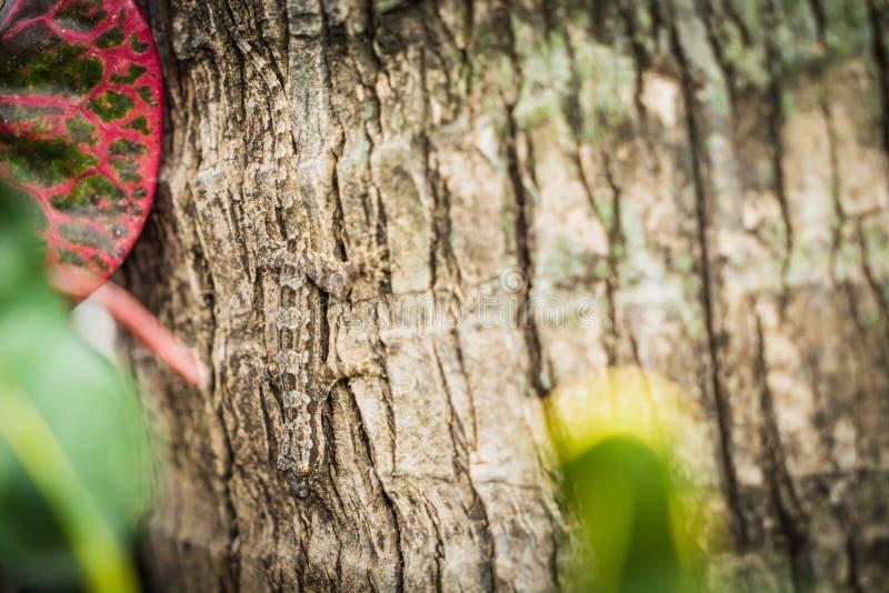 Lézard de gecko sur la fin d'arbre vers le haut du foyer photographie stock libre de droits