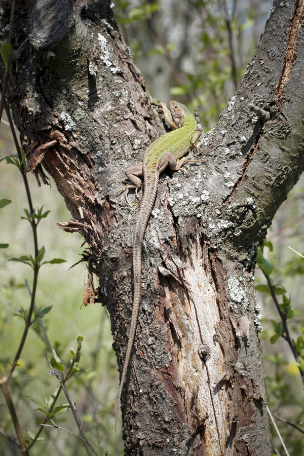 Lézard de Guster photo stock
