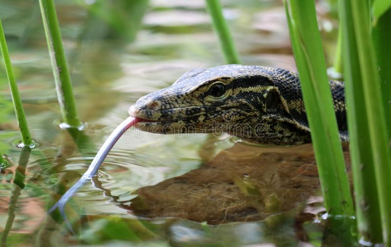 Lézard de moniteur aquatique dans Bali Indonésie, grand reptile unique photo libre de droits
