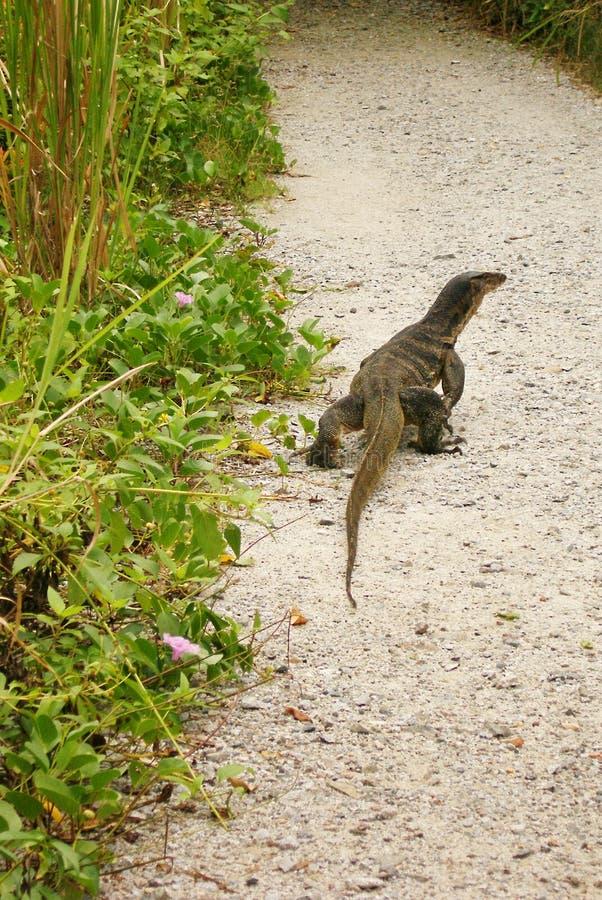 Lézard de moniteur malais en parc naturel images libres de droits