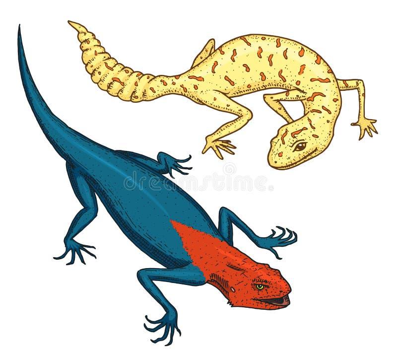 Lézard de mur d'Ibiza, léopard commun ou gecko à queue adipeuse repéré, reptiles exotiques ou serpents bleus, montagne rouge, Sin illustration stock