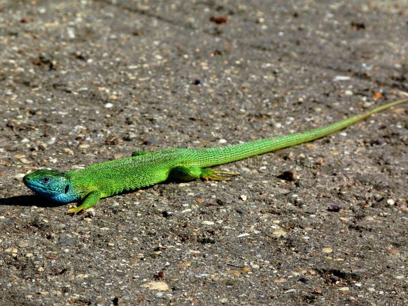 Lézard européen masculin vert et bleu, Lacerta latin Viridis de nom photo libre de droits