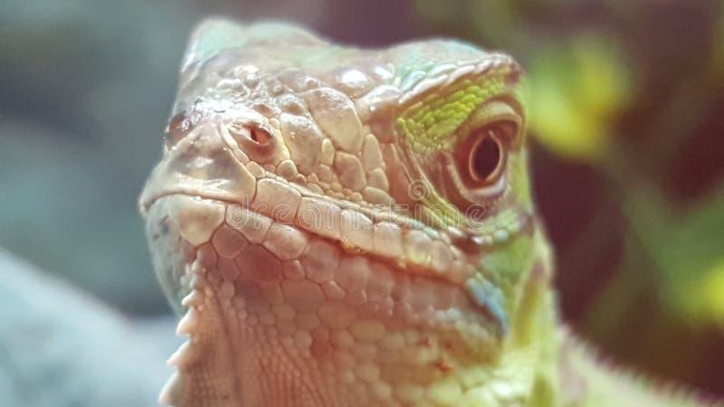Lézard fier dans le magasin d'animal familier photographie stock libre de droits