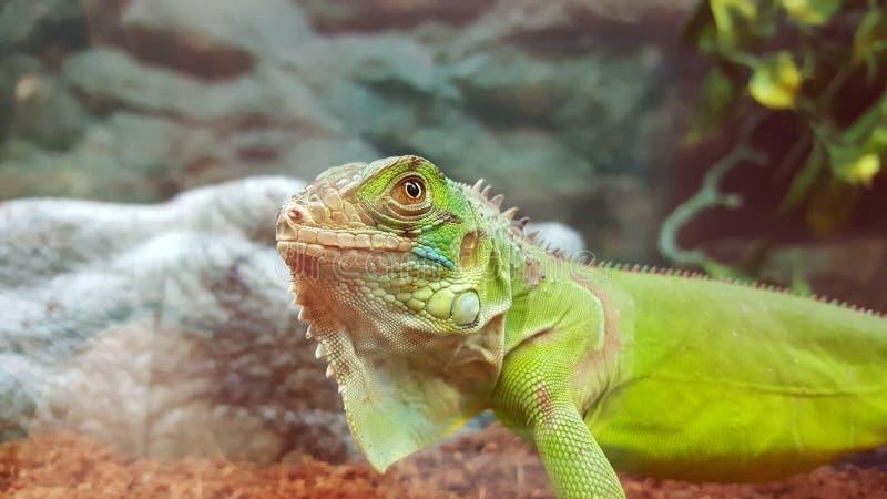 Lézard fier dans le magasin d'animal familier photos libres de droits