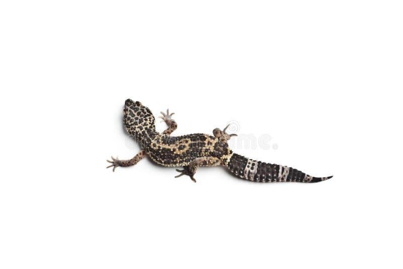 Lézard Gecko de léopard photographie stock