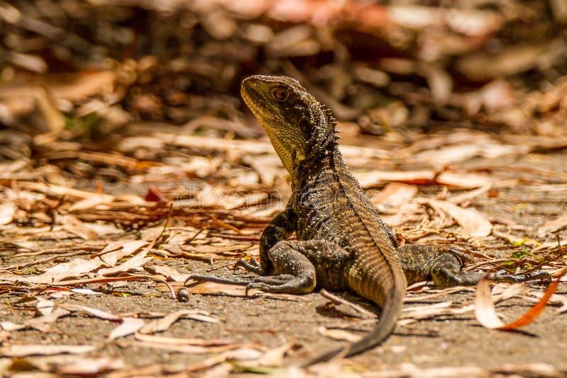 Lézard Inellagama Lesueurii - Australie image libre de droits