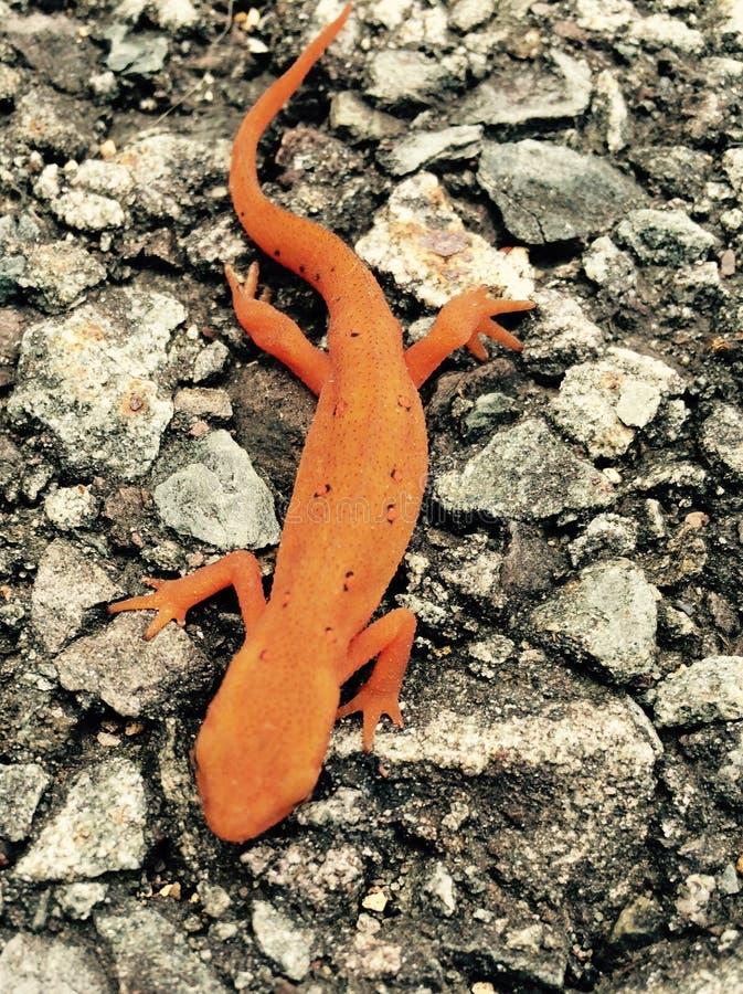 Lézard orange sur l'asphalte photo stock