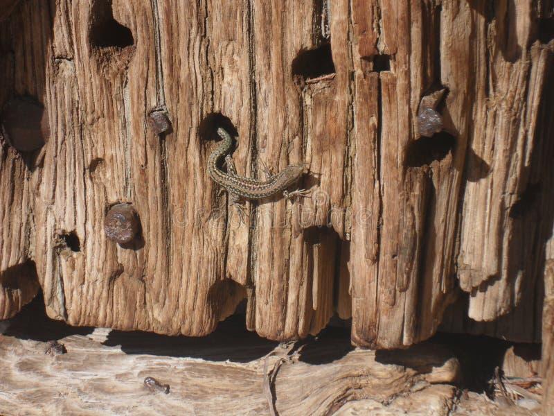 L?zard prenant un bain de soleil sur une porte en bois image stock
