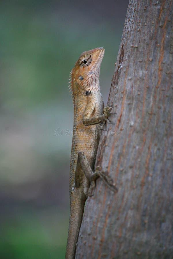 Lézard rouge sur l'arbre photos stock
