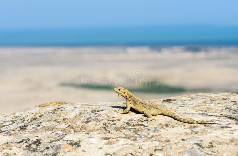Lézard sauvage à l'habitat de nature regardant le paysage marin Faune de l'Azerbaïdjan images stock