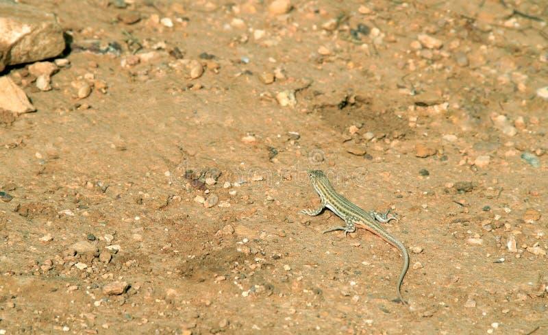 Lézard sauvage de désert image stock