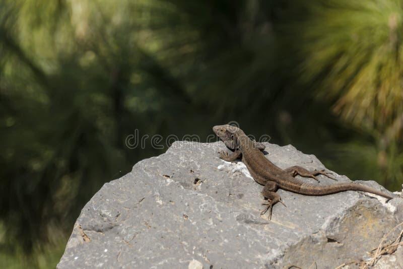 Lézard se dorant sur un caillou Parc national Teide, T?n?rife, ?les Canaries image stock