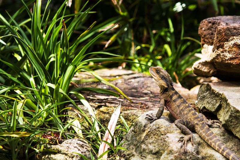 Lézard sur le dragon barbu de la roche 2 images stock