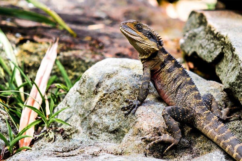 Lézard sur le dragon barbu de roche image stock