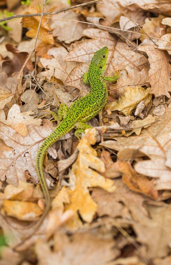Lézard vert balkanique sur les feuilles sèches photo libre de droits
