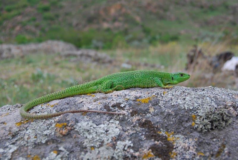 Lézard vert balkanique (trilineata de Lacerta) photos stock