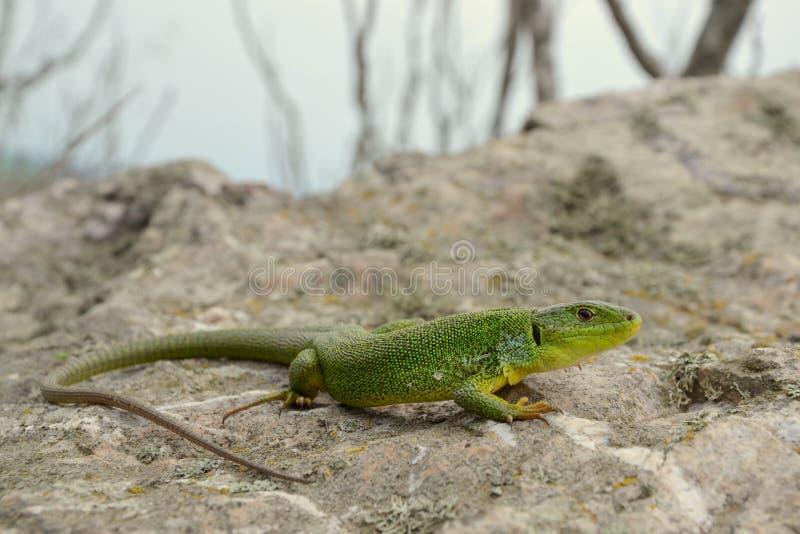 Lézard vert balkanique (trilineata de Lacerta) image stock