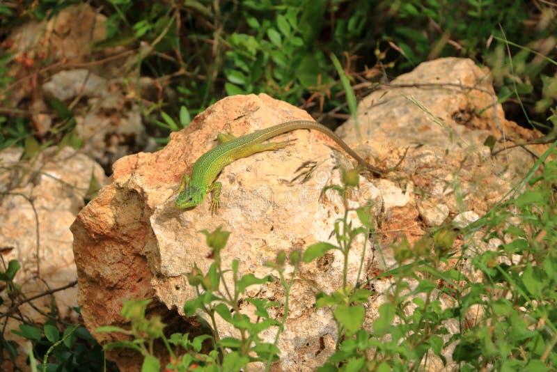 Lézard vert balkanique, trilineata de Lacerta, Crète, Grèce photographie stock