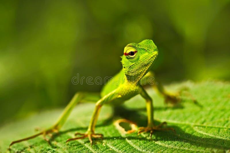 Lézard vert Bel animal dans l'habitat de nature Lézard de lézard de jardin de vert forêt, calotes de Calotes, portrai d'oeil de d photos libres de droits